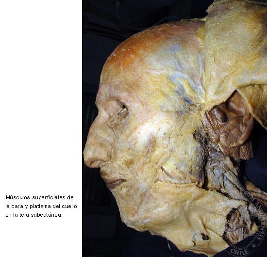 Sistema Tegumentario - Musculatura superficial de la cara, músculo ...